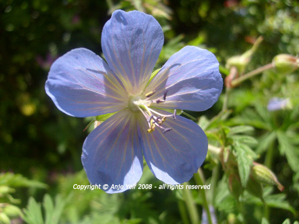 Geranium Johnsons Blue flowering in July and August